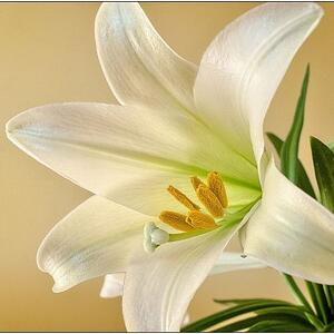 easter lily toxic to cats