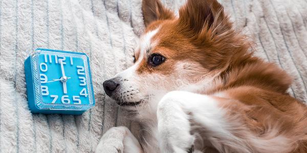 fluffy dog watching blue alarm clock