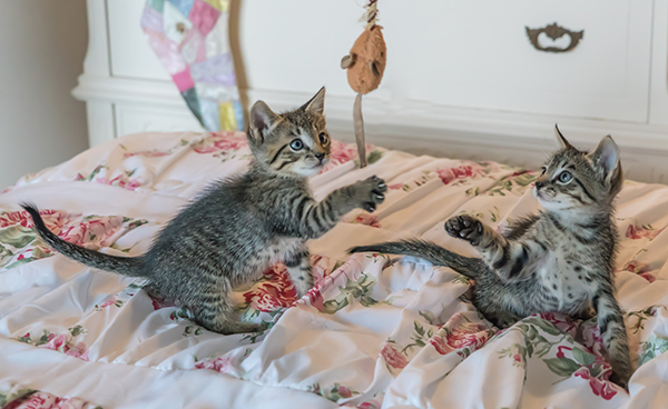 foster-kittens-playing