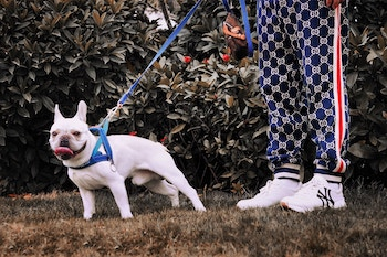 french bulldog on leashed walk 350 unsplash