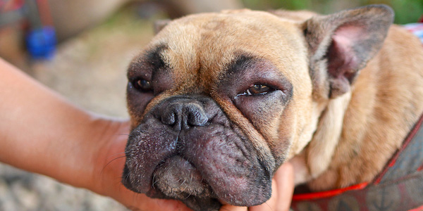 french bulldog with swollen face after bee sting