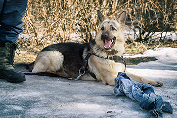 german-shepherd-lying-down-by-owner