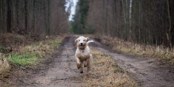 golden doodle running off leash on a trail
