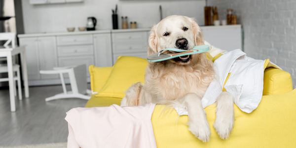 golden retriever on couch holding shoe in their mouth