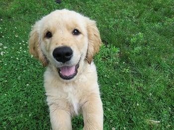 golden retriever puppy jump.jpg