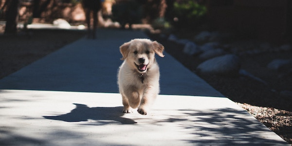 golden retriever puppy running when called to come