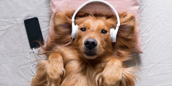 golden retriever relaxing with headphones on