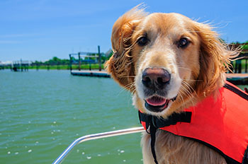 golden-retriever-dog-on-boat-lifejacket-350