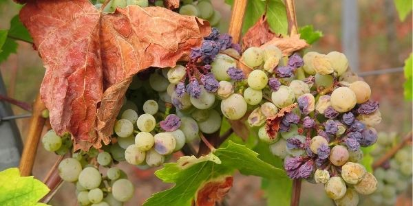 grapes and raisins on a vine are toxic to dogs