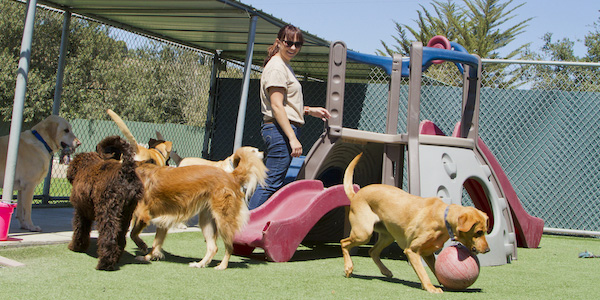 group of large dogs playing in dog daycare yard