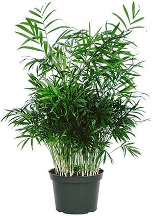 hamaedorea Elegans Parlor Palm