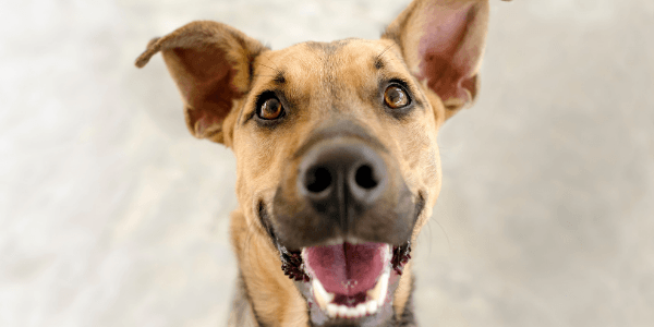 happy shepherd looking dog with floppy ears closeup looking into camera
