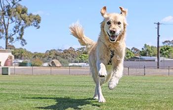 golden retriever dog happy to approach