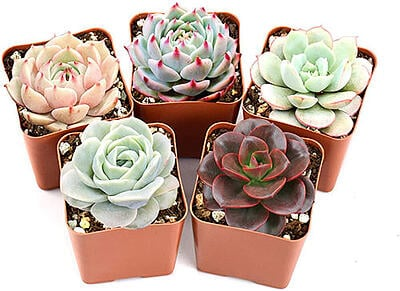 hen and chick succulents safe for cats