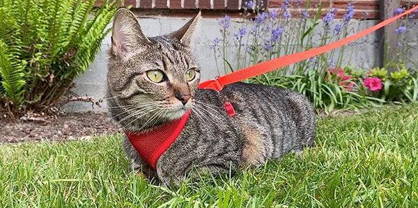 how to walk cat on leash