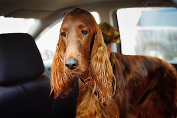 irish-setter-sick-in-car-350