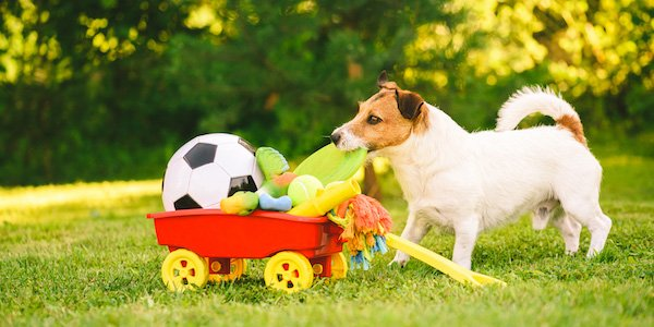 jack russell terrier enjoying enrichment wagon full of toys