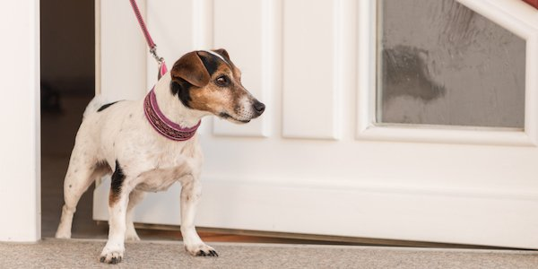 jack russell terrier on leash to prevent dashing out the door