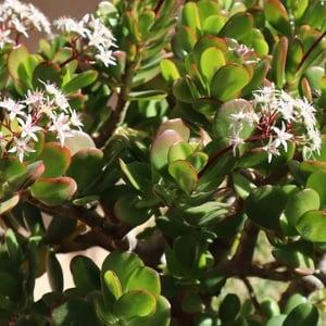 jade plant toxic to cats
