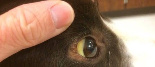 dog with jaundice yellow eyes