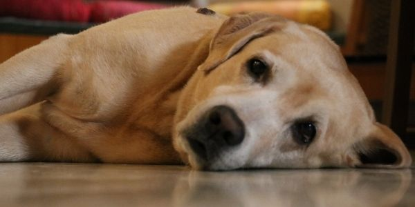 labrador with food bloat lying down