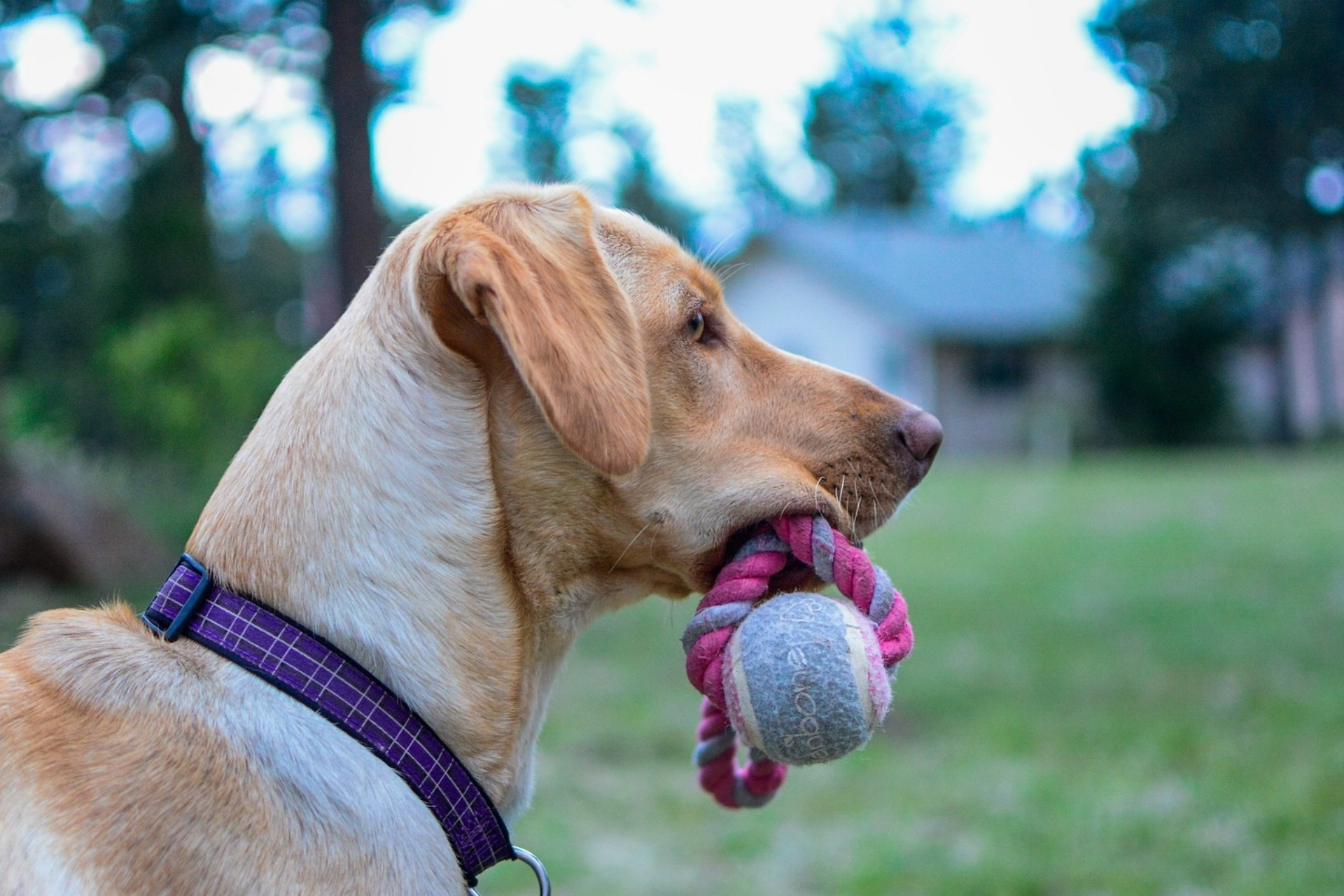 Labrador With Rope Toy