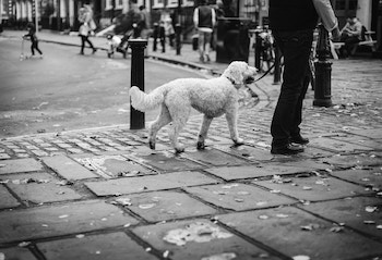 large doodle walking nicely next to owner on city street