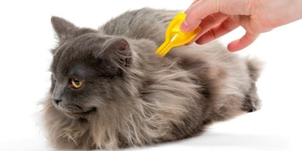 long haired grey cat laying down while someone applies topical flea preventative