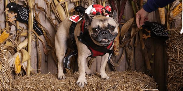 marshall jockey dog halloween costume