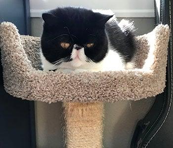 Mazel in his cat tree