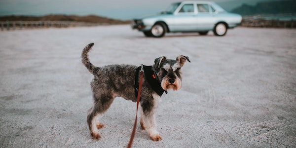 mini schnauzer on leash in front of car and desert in the background