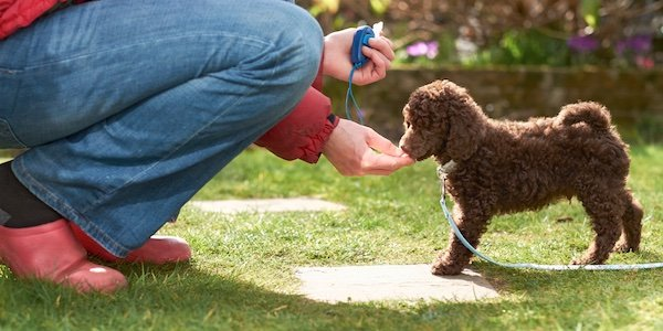 miniature chocolate poodle learning come when called with clicker training