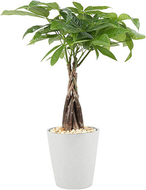 money tree safe plant for cats and dogs