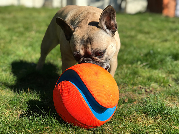 Marshall the Frenchie playing with his ball in the yard