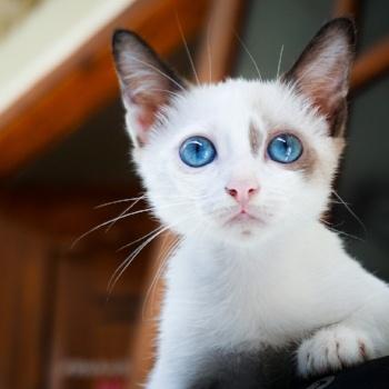 new-kitten-adjustment-period-blue-eyes
