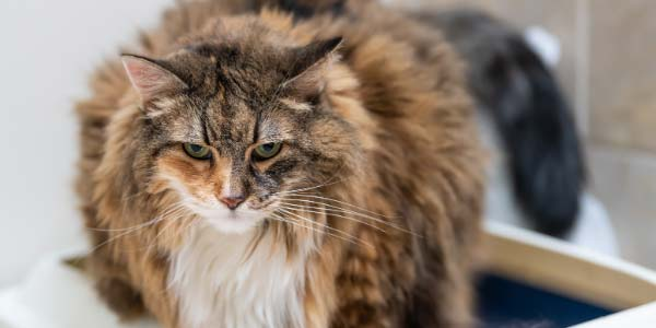 old cat with arthritis in litter box