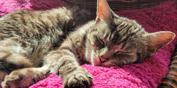 older tabby cat sleeping on pink pillow