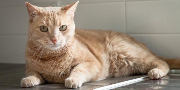 orange cat resting on clean kitchen counter