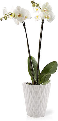 orchids safe for pets