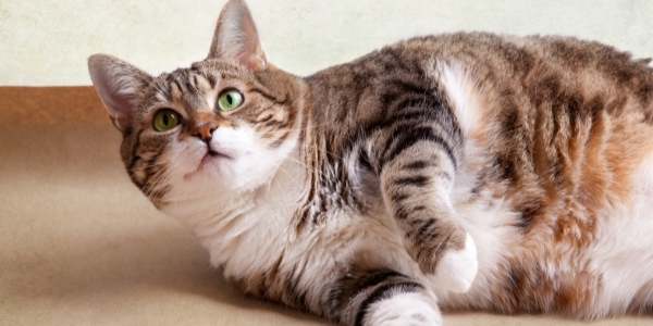 overweight and obese cats have more health issues