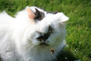 persian-cat-bee-outside