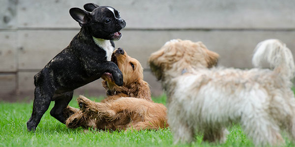 two puppies wrestling while a third puppy watches