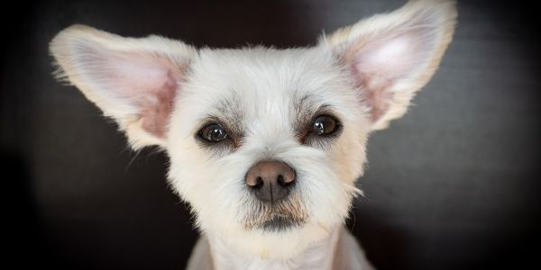poodle mix with perky ears