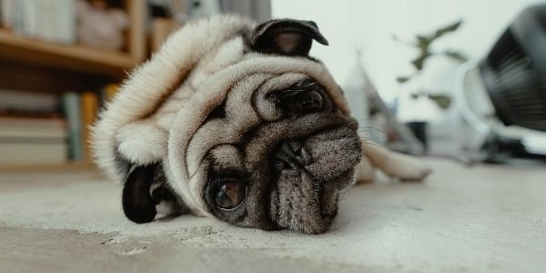 pug ate too much and has food bloat