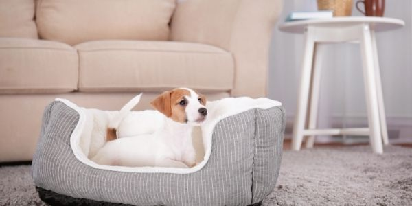 puppy lying in his bed