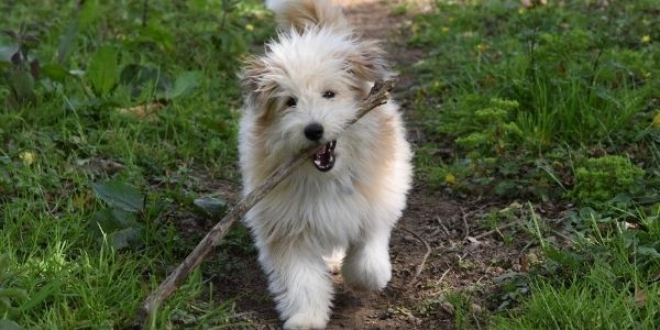 puppy running with stick in mouth