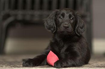 puppy-class-when-to-start-350