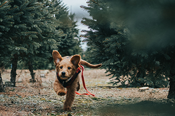 puppy-coming-when-called-on-long-leash