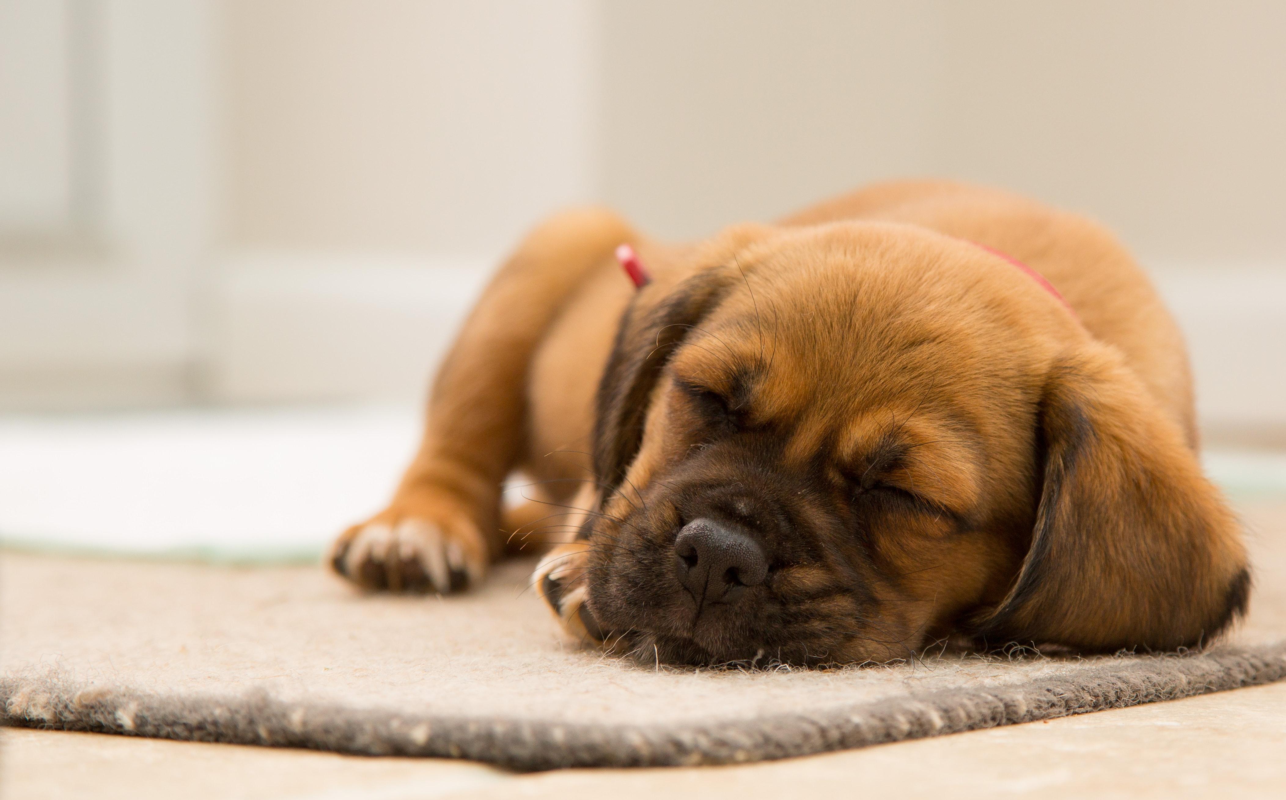 puppy-dog-sleeping