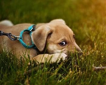 puppy-lying-grass.jpeg